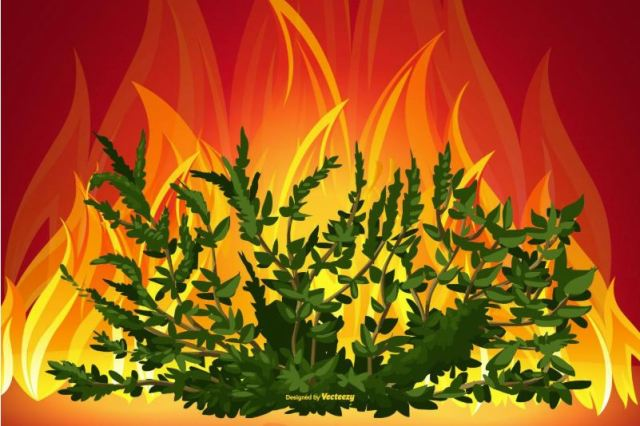 burning bushes